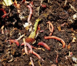 Red wigglers (Eisenia fetida) eat organic wastes, such as vegetable peelings, then excrete vermicasts. (Photo courtesy of Melissa Walters)
